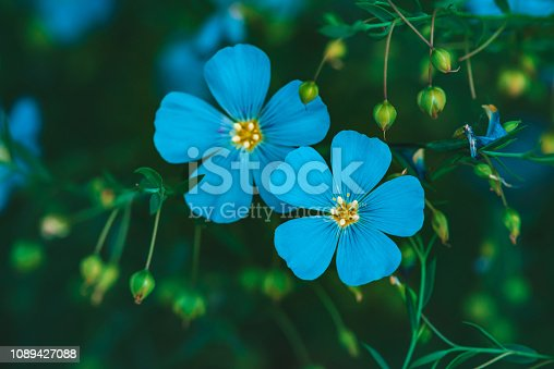 Amazing bright cyan flowers of flax blooming on green background. Vivid blue neon flowers close-up. Flowering buds of linum usitatissimum in macro. Beautiful blossoming flax flowers with copy space.