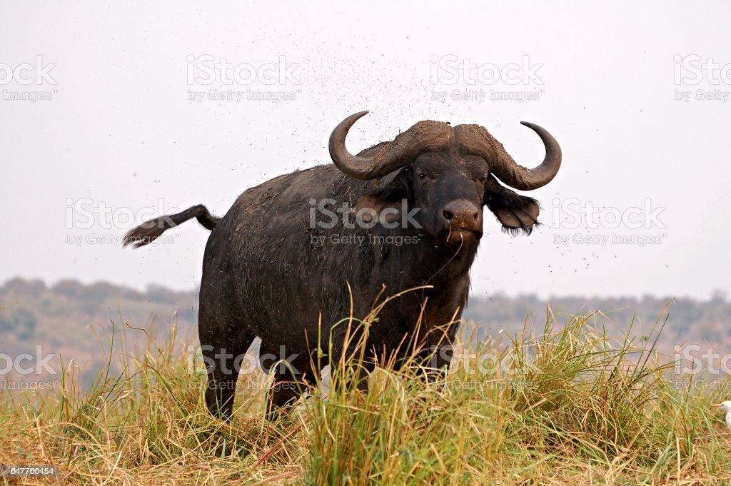 Amazing Buffalo in the Chobe National Park in Botswana stock photo