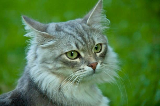 amazing cat - batalina cats стоковые фото и изображения