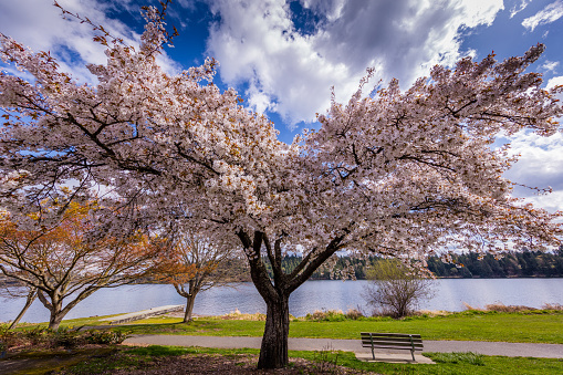 Amazing cherry blossom. Ferdinand Street Boat Launch, Seattle, Spring