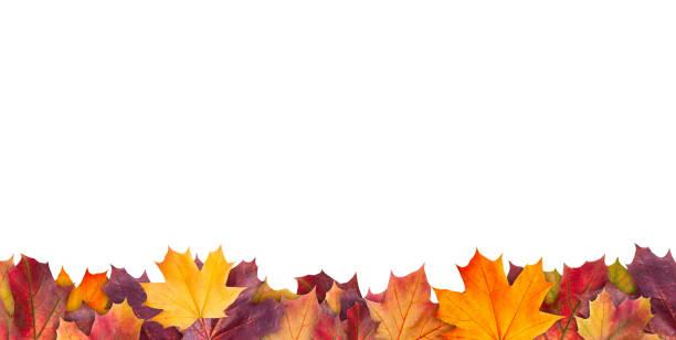 erstaunlich bunte hintergrund des herbst ahorn baum blätter hintergrund mit weißen leeren raum. mehrfarbige ahorn blätter herbst hintergrund. hochwertiges auflösungsbild - herbst stock-fotos und bilder