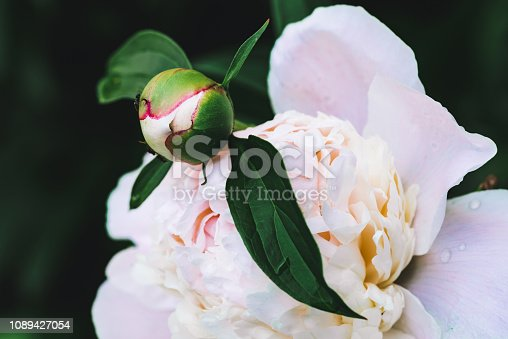 Amazing cream peony with drops. Wet blooming flower and young bud with long green leaves close-up. Insect on flower with copy space. Small black ant creep on unblown bud in macro. Beautiful peonies.