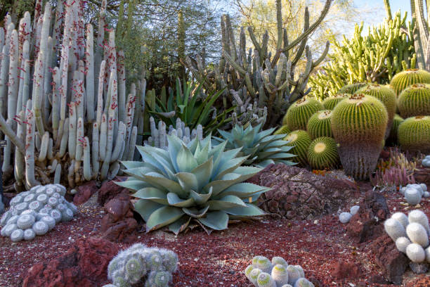 Amazing desert cactus garden with multiple types of cactus stock photo