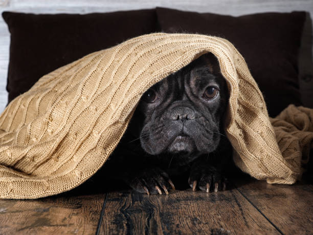 Amazing dog face. Bulldog funny hid under a warm blanket stock photo