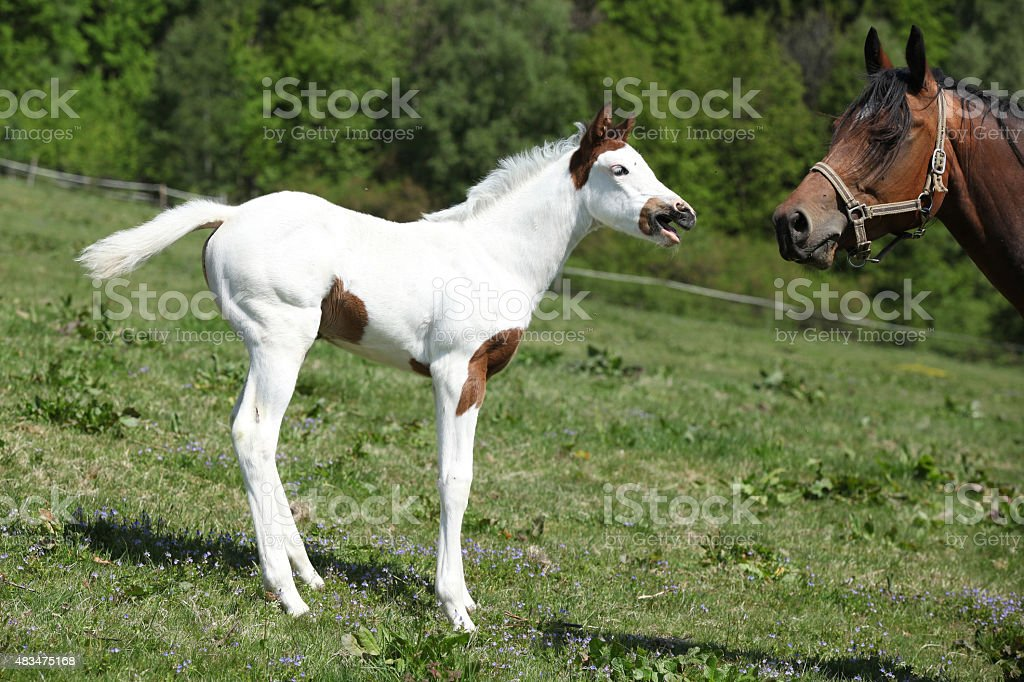 Amazing foal with mare on pasturage stock photo