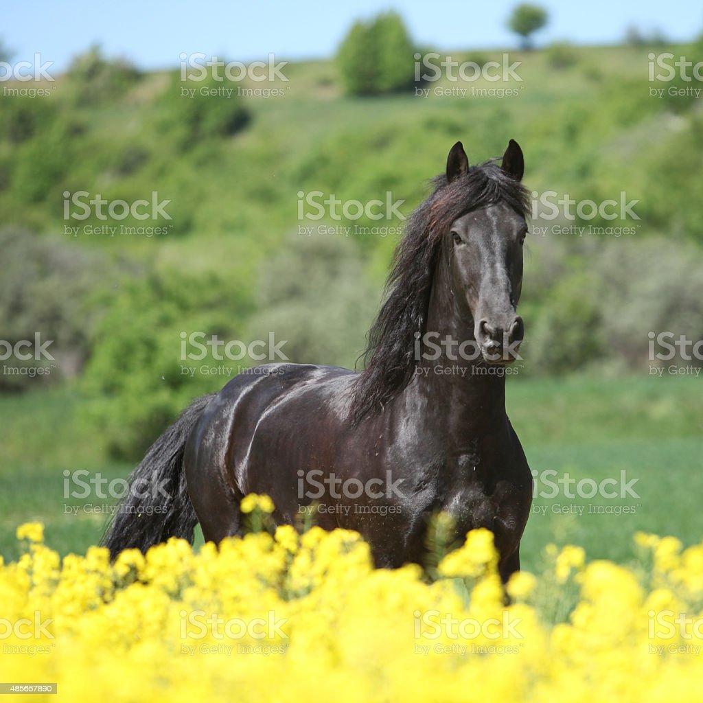 Amazing friesian horse running in colza field stock photo