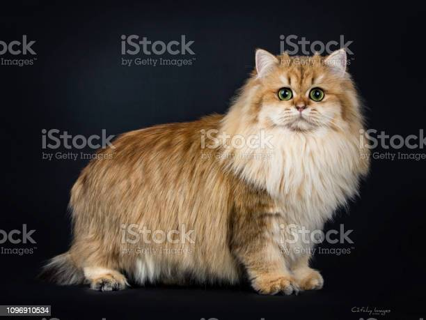 Amazing full coated fluffy golden british longhair cat kitten side picture id1096910534?b=1&k=6&m=1096910534&s=612x612&h=3obfxwlhowhp6kpehl3wvzt5ilwrq1odpjt9zuq 1uc=