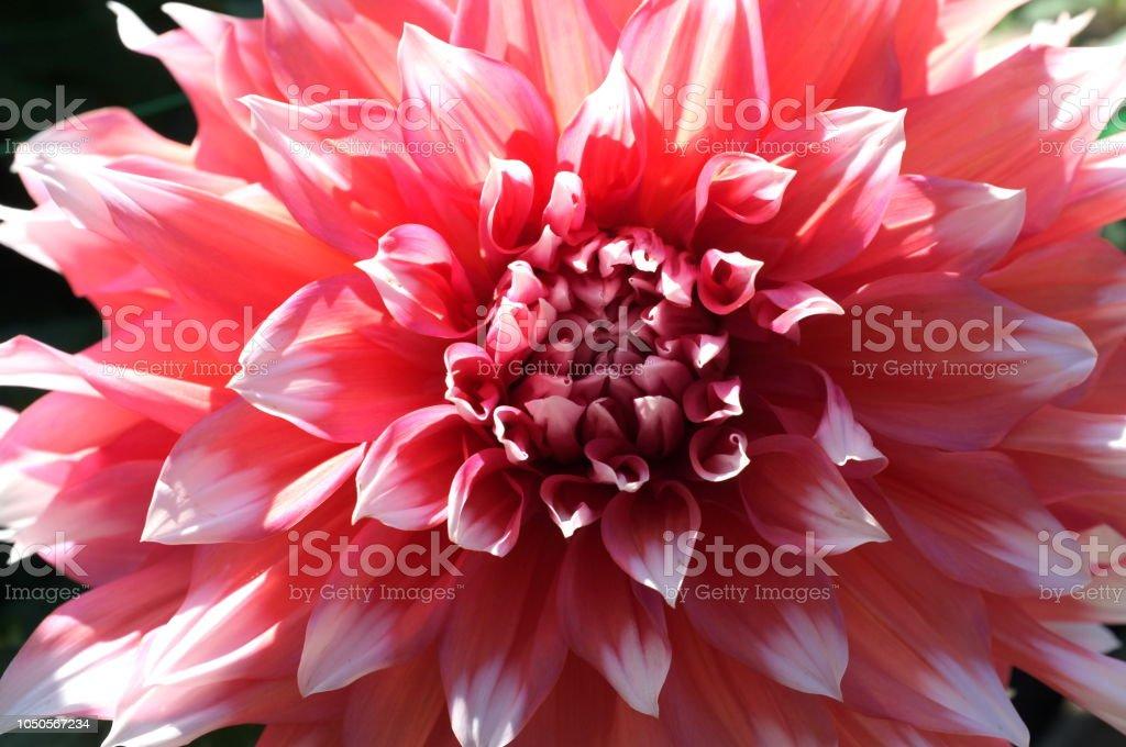 Incroyable géante dahlia rose avec des pétales blancs - Photo