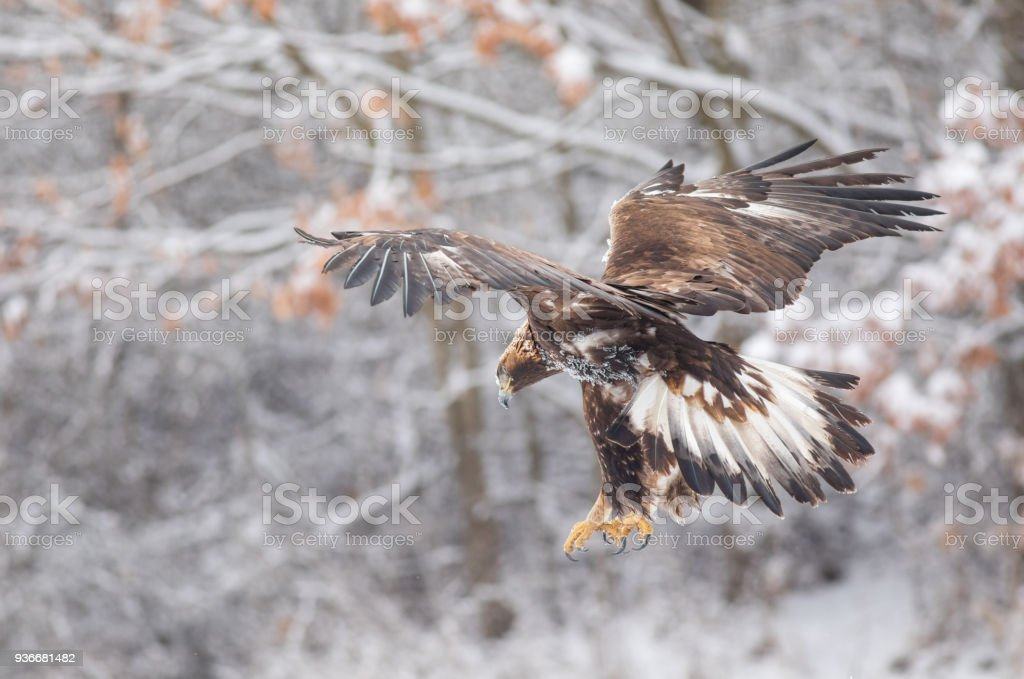 Amazing Golden Eagle in flight while hunting with snowy background. stock photo