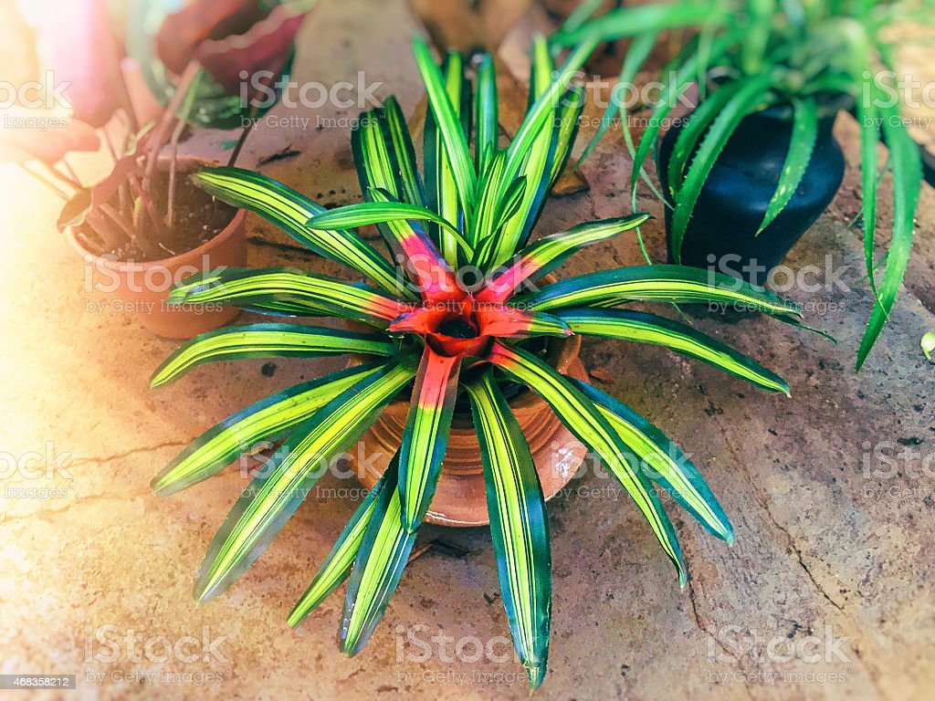 Amazing green and red bromeliad on the indoor garden. royalty-free stock photo
