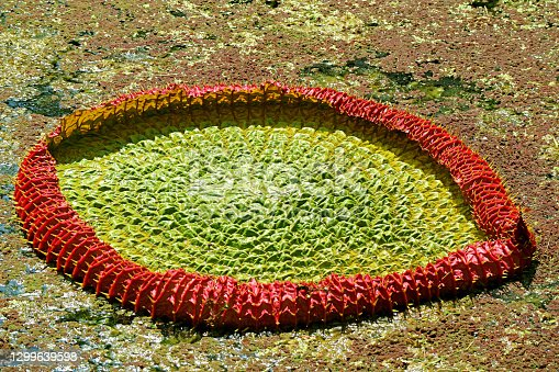 Amazing Immature Water Lily Pad of Victoria Amazonica in the Pond