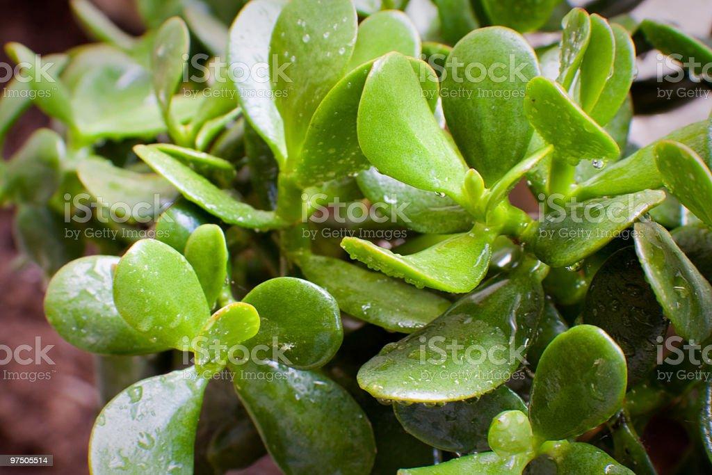 Amazing jade royalty-free stock photo