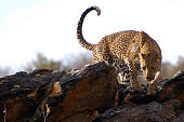 Lioness on the prowl near Namutoni camp in Etosha National Park