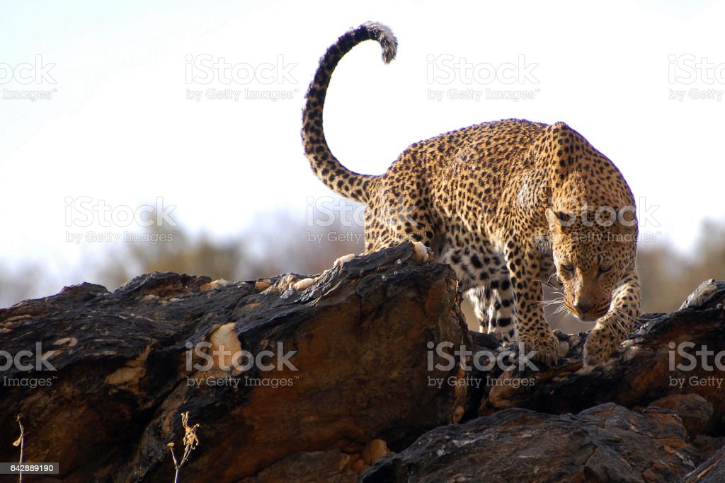 Amazing Leopard in Namibia stock photo
