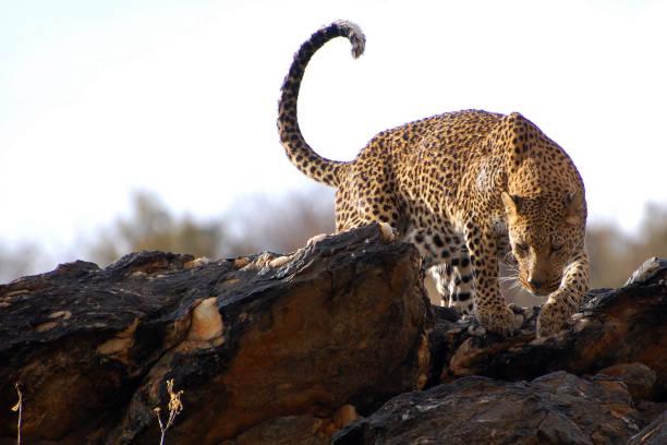 erstaunliche leopard in namibia - namib wüste stock-fotos und bilder