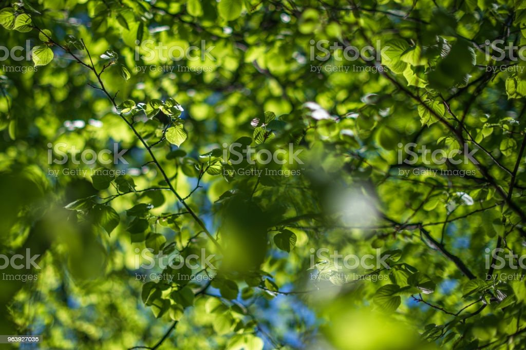 Amazing light on fresh spring leaves. Branches of trees full of young foliage. Shadows and light. - Royalty-free Abstract Stock Photo