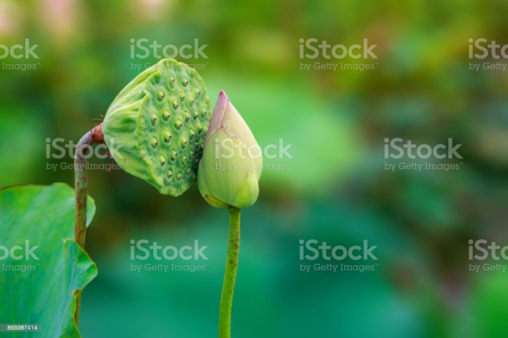 Amazing Lotus Fruit And Flower Kissing With Green Background Stock