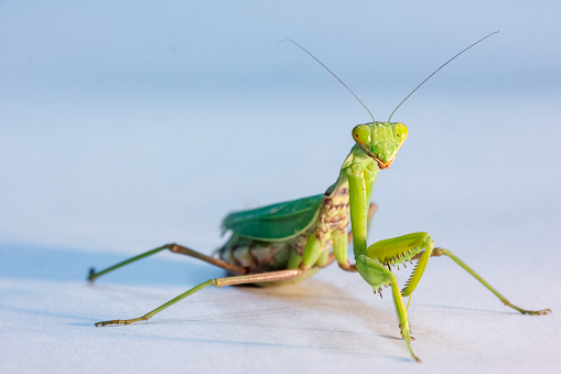 istock amazing macro shot of a green mantis on an isolated background in the Studio 1128558739