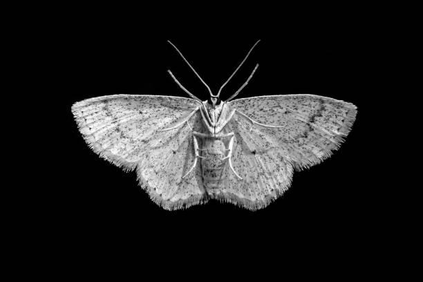 Amazing macro shot with white moth bottom close up on isolated black picture id1126860228?b=1&k=6&m=1126860228&s=612x612&w=0&h=xf5drwdnofy9kdxm6amliei4ywcio4iq 2cezlaxghu=