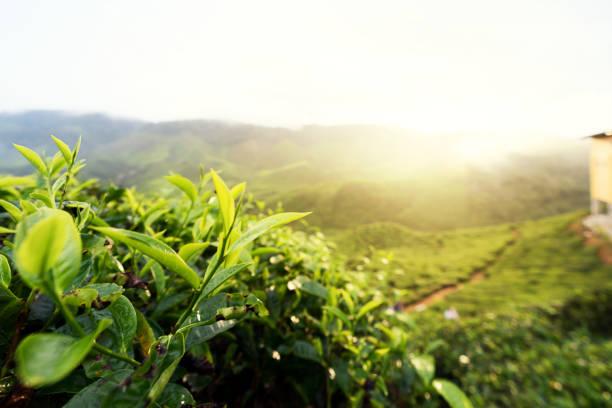 Malaysia Landschaft. Blick auf Tee-Plantage in der Zeit von Sonnenaufgang/Sonnenuntergang in Cameron Highlands, Malaysia. Natur-Hintergrund mit Nebel. – Foto