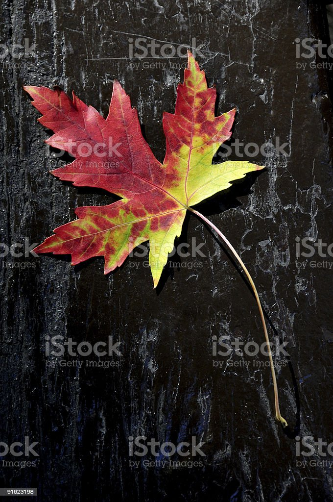 Amazing maple leaf royalty-free stock photo