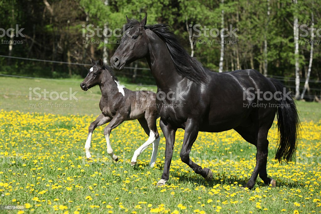Amazing mare with foal running stock photo