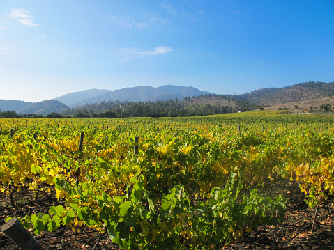 istock Amazing Matetic Vineyard in autumn. Located in Rosario Valley, near to Santiago in Chile. 815783934