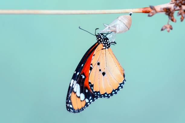 놀라운 순간, 바둑의 나비는 번데기에서 신흥 - 누에고치 뉴스 사진 이미지