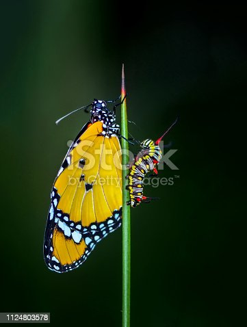 538988558 istock photo Amazing moment ,Monarch butterfly emerging from its chrysalis 1124803578