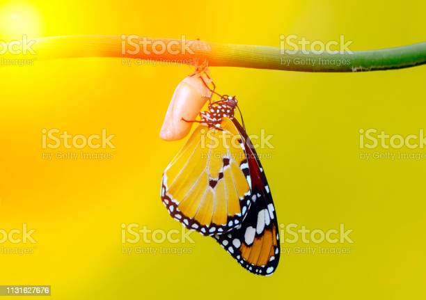 Amazing moment monarch butterfly emerging from its chrysalis picture id1131627676?b=1&k=6&m=1131627676&s=612x612&h=kixa2gf8rqm3drgvujca0kb9ujatojmrd sfhmy9x a=