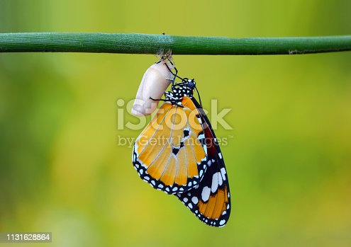538988558istockphoto Amazing moment ,Monarch butterfly emerging from its chrysalis 1131628864