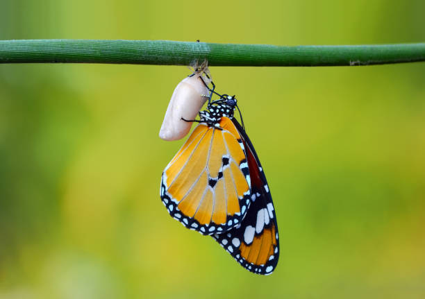 Amazing moment monarch butterfly emerging from its chrysalis picture id1131628864?b=1&k=6&m=1131628864&s=612x612&w=0&h=kmbbtv3t8z6adqnwlx0vmowrg0wtzszs57us cd4age=
