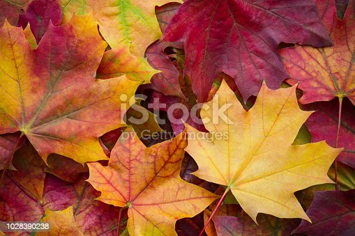 istock Amazing multicolor background of natural autumn foliage. Colorful background of multicolor leaves with natural light. Majestic bright autumn foliage color background 1028390238