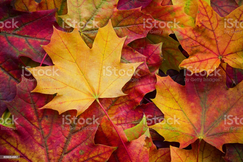 Amazing multicolor background of natural autumn foliage. Colorful background of multicolor leaves with natural light. Majestic bright autumn foliage color background - foto stock
