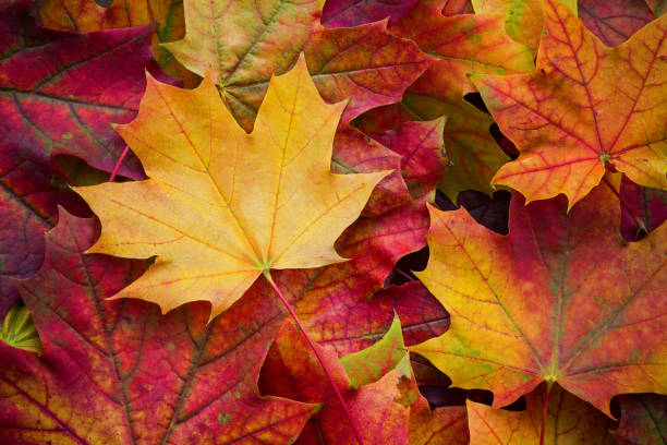 amazing multicolor background of natural autumn foliage. colorful background of multicolor leaves with natural light. majestic bright autumn foliage color background - клён стоковые фото и изображения