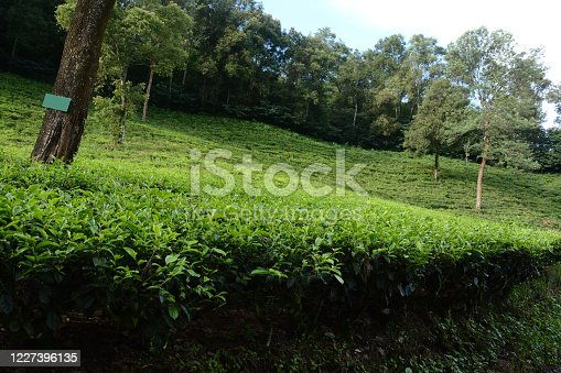 amazing natural beauty tea garden. Beautiful tea garden Indonesia