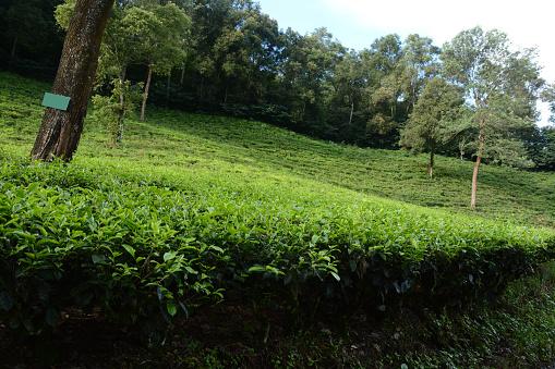 amazing natural beauty tea garden. Beautiful tea garden Indonesia