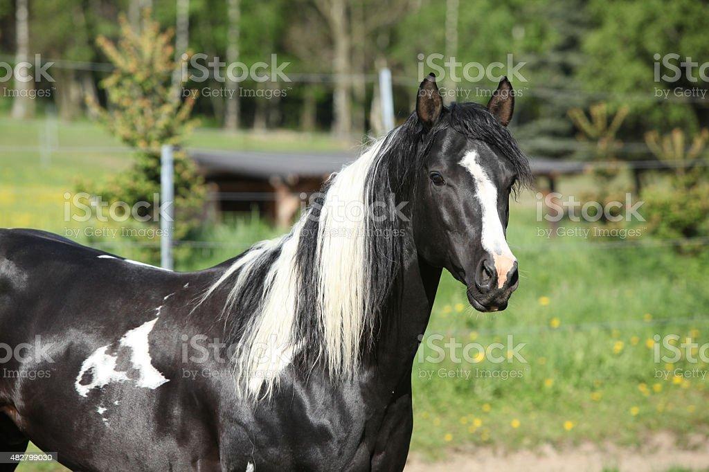 Amazing paint horse stallion looking at you stock photo