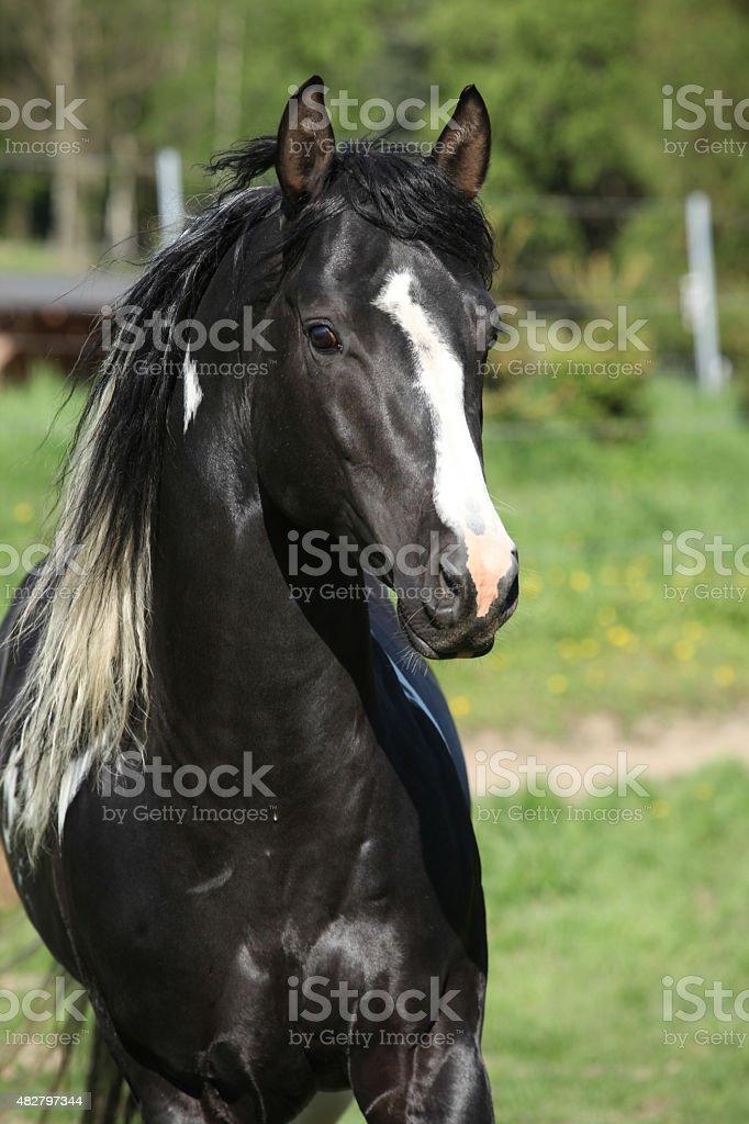 Amazing paint horse stallion with long mane stock photo