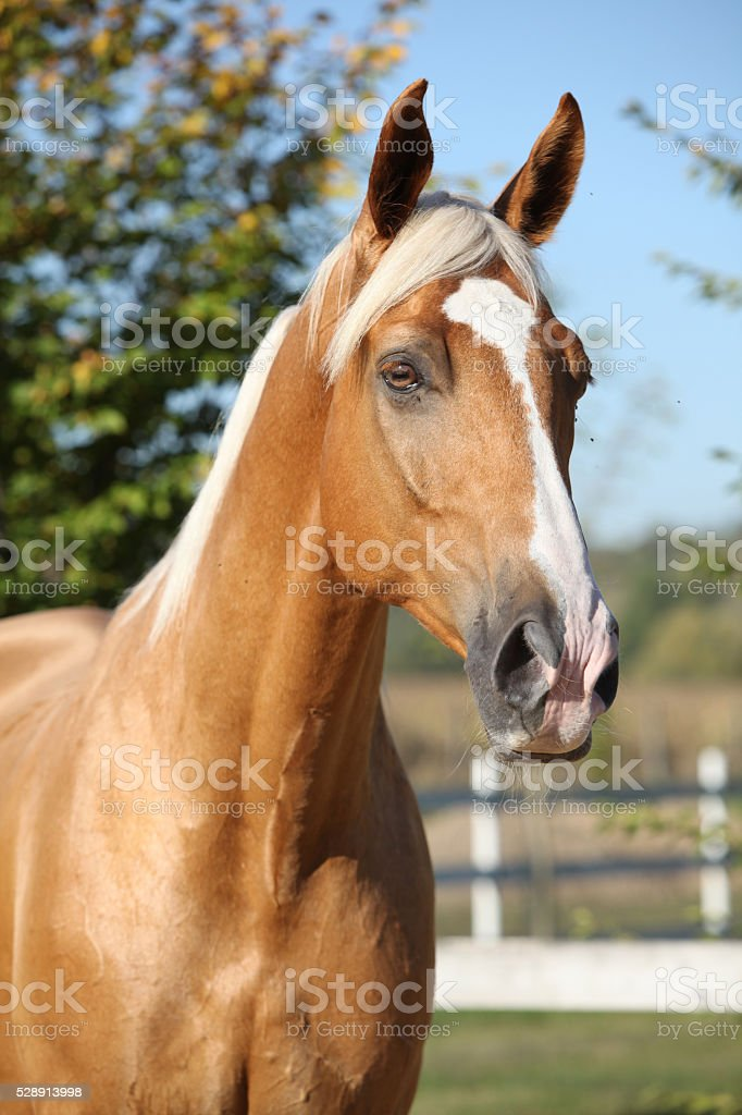 Amazing Palomino Horse With Blond Hair Stock Photo 528913998 Istock