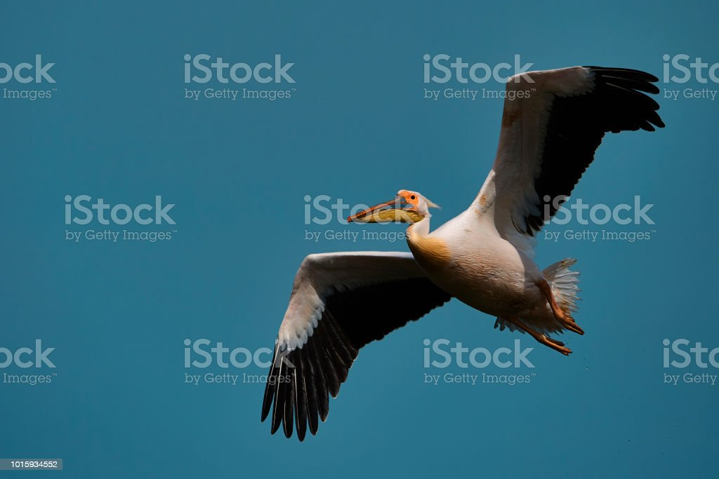 side view of amazing pelican flying with spreaded wings on summer day.