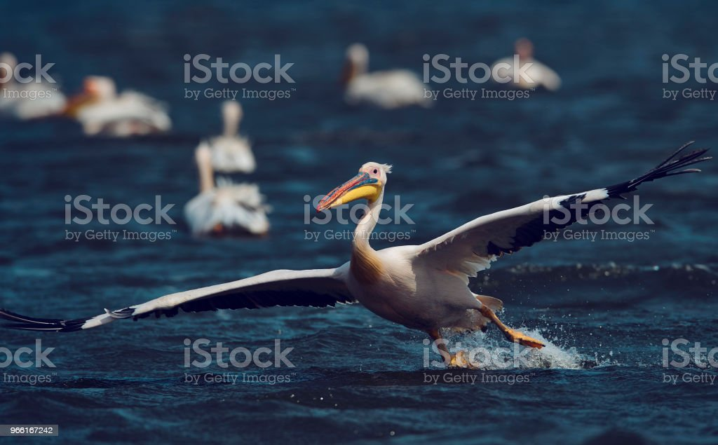 amazing pelican landing on water - Royalty-free Animal Stock Photo