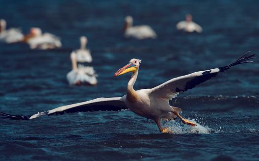 Geweldige Pelikaan Landing Op Het Water Stockfoto en meer beelden van Buitenopname