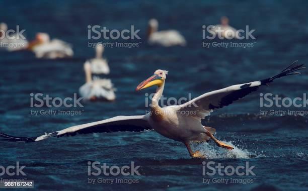 Erstaunliche Pelikan Landung Auf Wasser Stockfoto und mehr Bilder von Donau