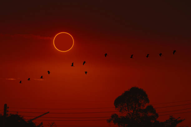 amazing phenomenon of total sun eclipse over silhouette birds flying on tree and sunset sky stock photo