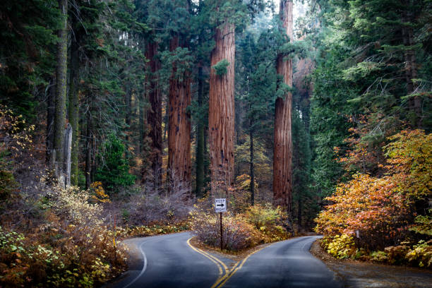 amazing photo of a divided road in sequoia national park in the autumn - international landmark stock photos and pictures