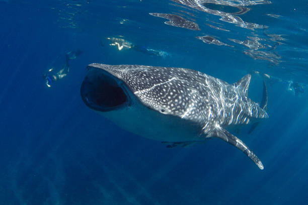 Amazing photo of giant whale shark with mouth wide open feeding Showing off the whale sharks amazing spot patterns this is a truly beautiful photo taken in crystal blue water whale shark stock pictures, royalty-free photos & images