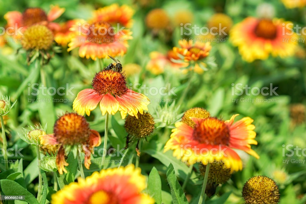 Amazing picture of a bee sitting on a flower, flower attracting bee are the pollinators of garden, selective focus. stock photo