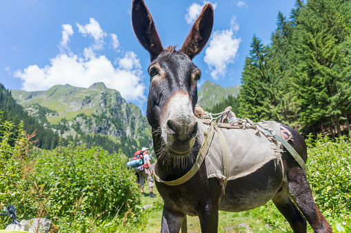 Amazing portrait of a donkey with the Carpathian mountains in the background.