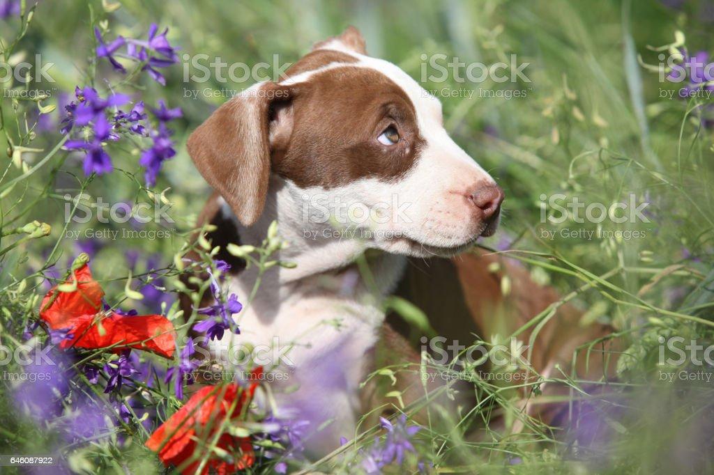 Tolle Welpen von American Pit Bull Terrier in Blumen – Foto